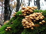 Two-toned Pholiota (Kuehneromyces mutabilis)